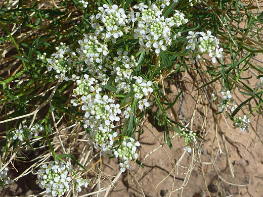 Mountain Pepperweed