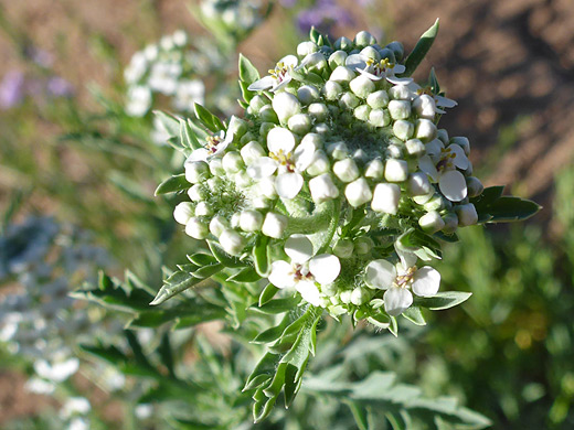 Thurber's Pepperweed