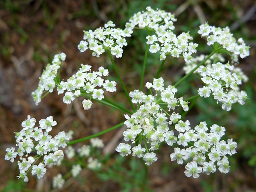 Gray's Lovage