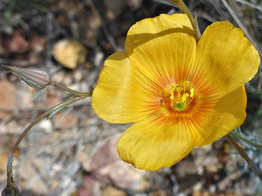 Berlandiers yellow flax linum berlandieri berlandiers yellow flax mightylinksfo