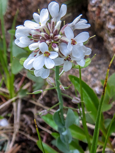 Alpine Pennycress