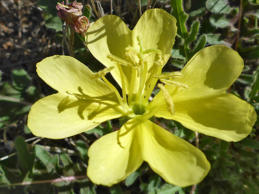 Yellow-Flower Desert Evening-Primrose