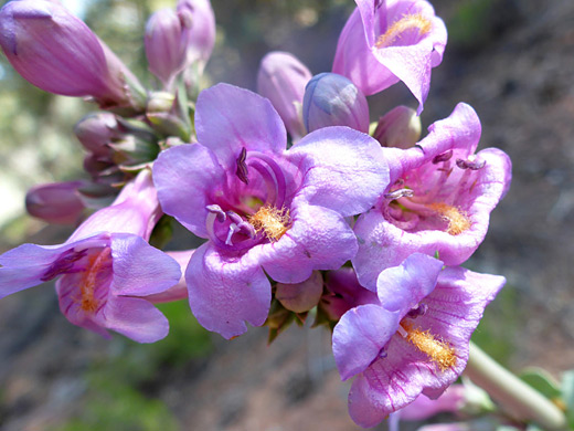 Owens Valley Beardtongue