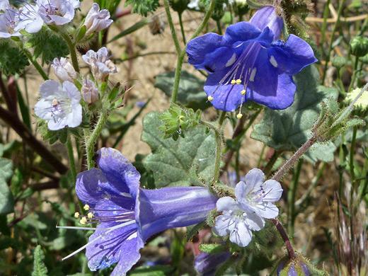 Desert Bluebell Phacelia Campanularia