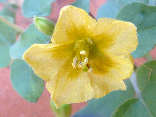 Yellow Nightshade Groundcherry