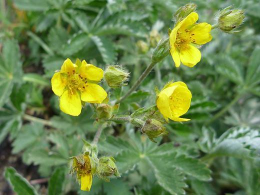 Beautiful Cinquefoil