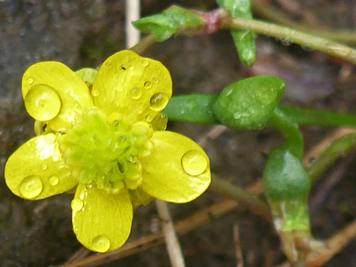 Greater Creeping Spearwort
