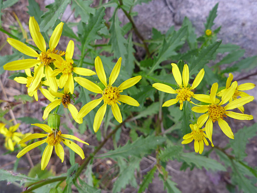 Cutleaf Groundsel