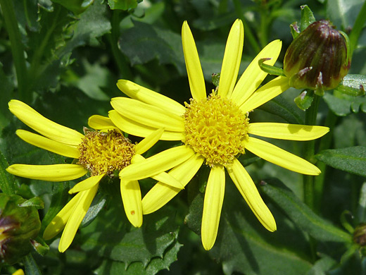 Dwarf Mountain Ragwort