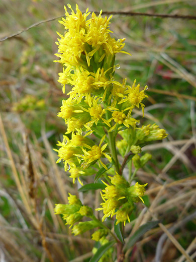 California Goldenrod