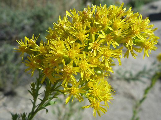 Threenerve Goldenrod