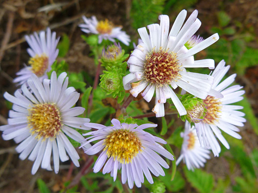 Pacific Aster