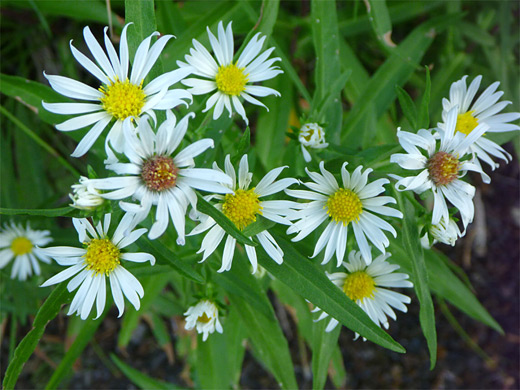 Eaton's Aster