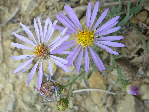 Western Mountain Aster