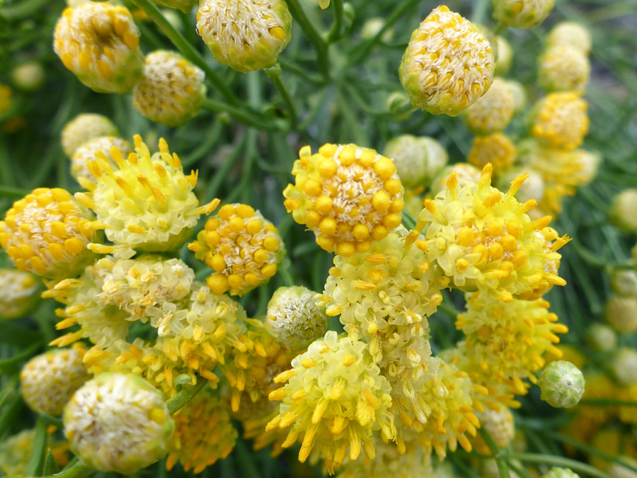 Clustered flowerheads