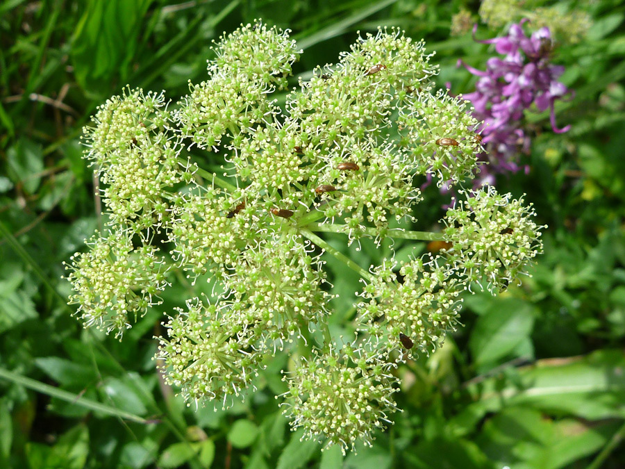 Flower Cluster Pictures Of Angelica Grayi Apiaceae