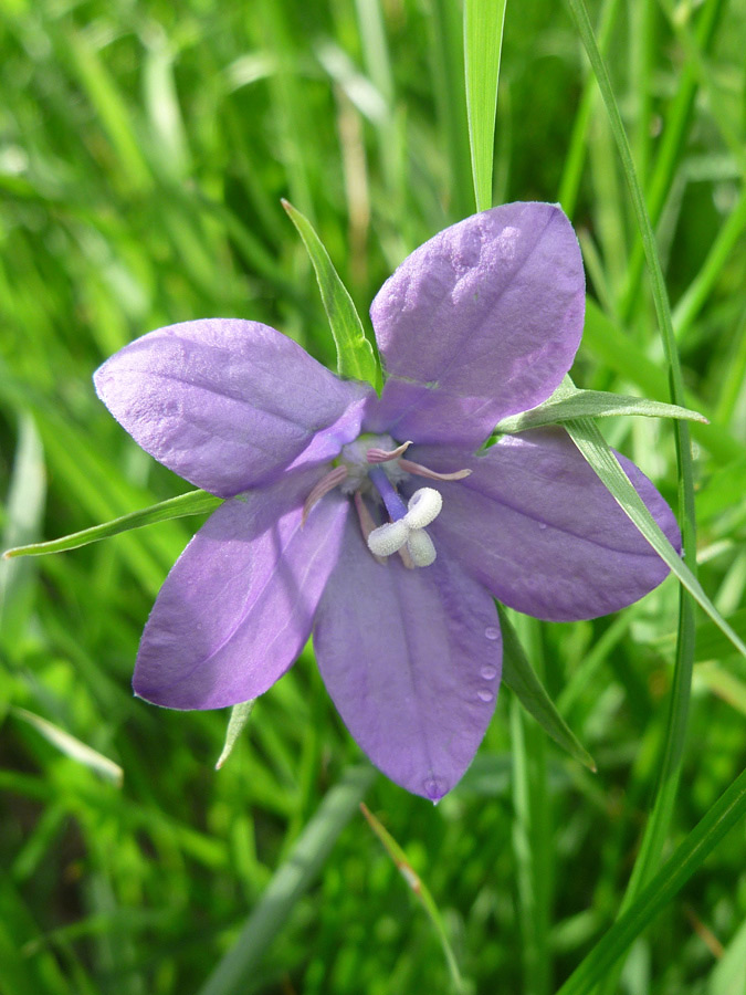 Mature flower - pictures of Campanula Parryi ...
