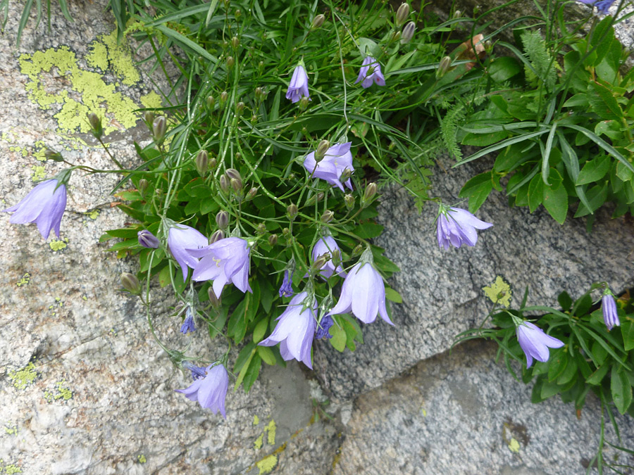 Campanula Rotundifolia Leaf Flowers and leaves - p...