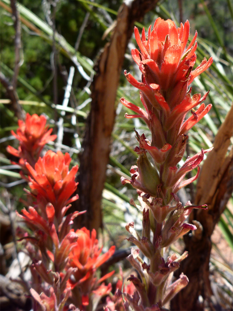 Tall Plant With Red Flowers http://www.americansouthwest.net/plants/wildflowers/castilleja-miniata2_l.html