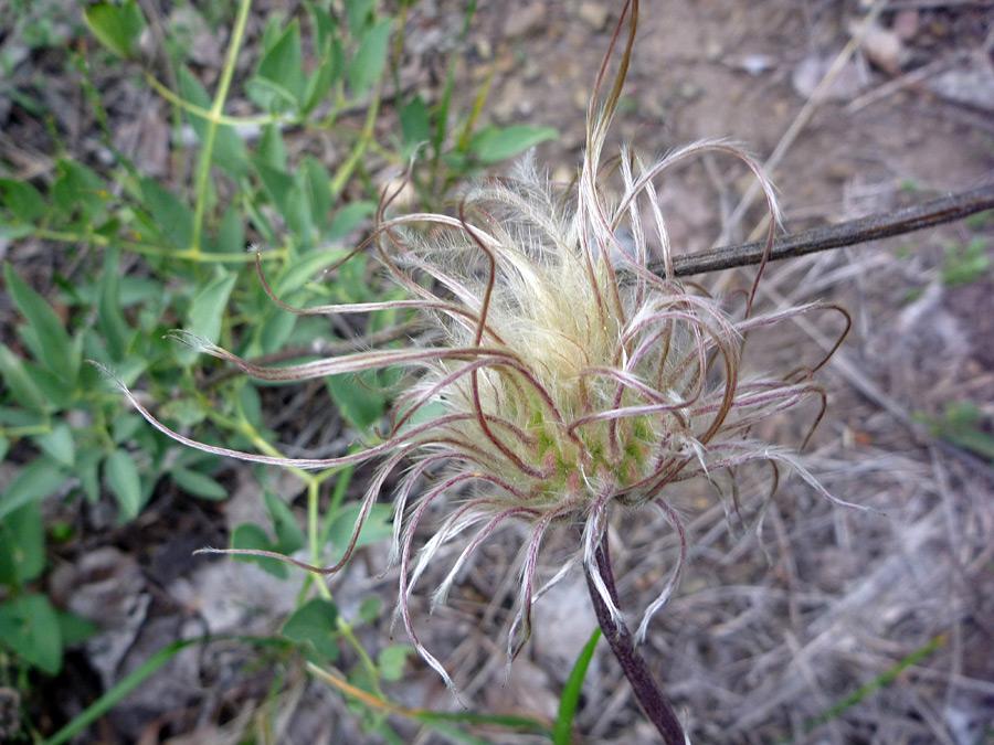 Clematis Hirsutissima Seed of Clematis Hirsutissima