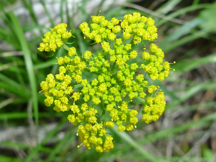 Flat-topped umbel