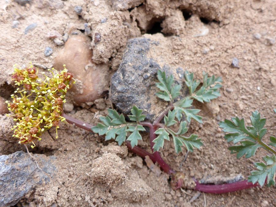 Purple Stem Pictures Of Cymopterus Purpureus Apiaceae Wildflowers Of West Usa
