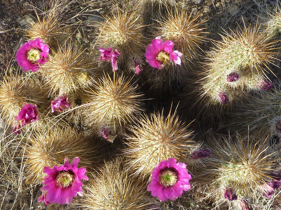 Flowers Pictures Of Echinocereus Engelmannii Southwest