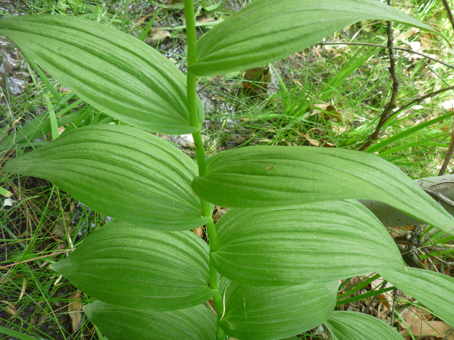 Wide leaves