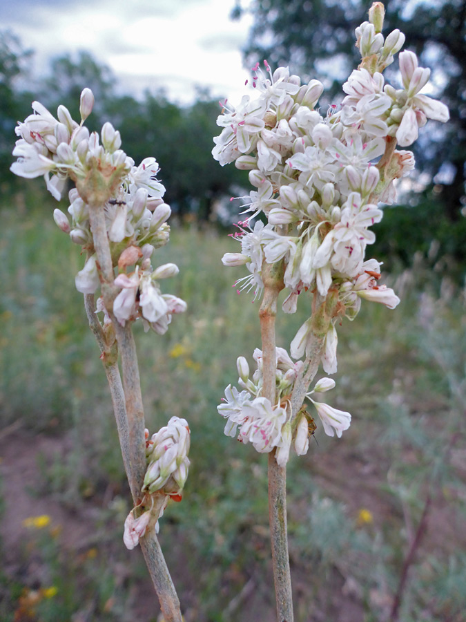 White flower clusters pictures of eriogonum racemosum white flower clusters mightylinksfo