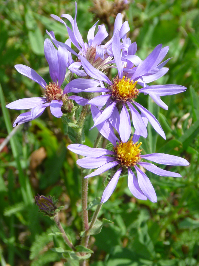 Purple Petals Pictures Of Eurybia Integrifolia