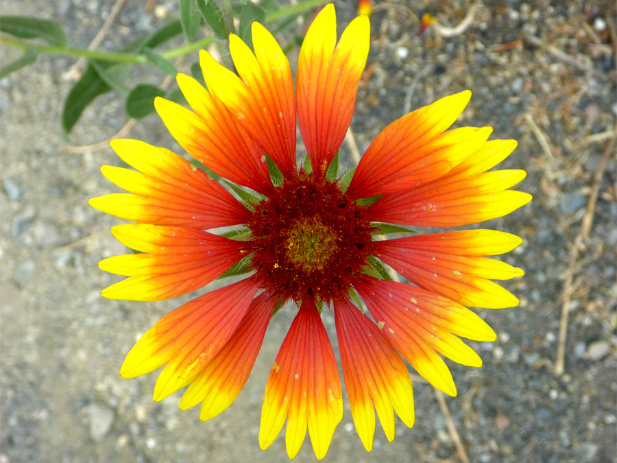 Red and yellow petals
