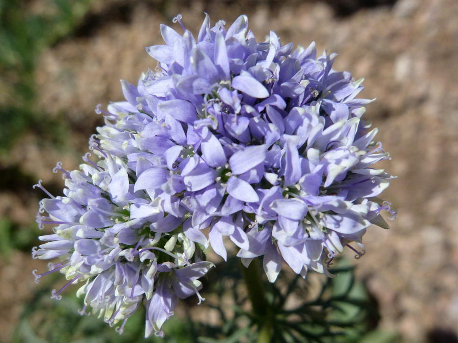 Pale blue-purple flowers