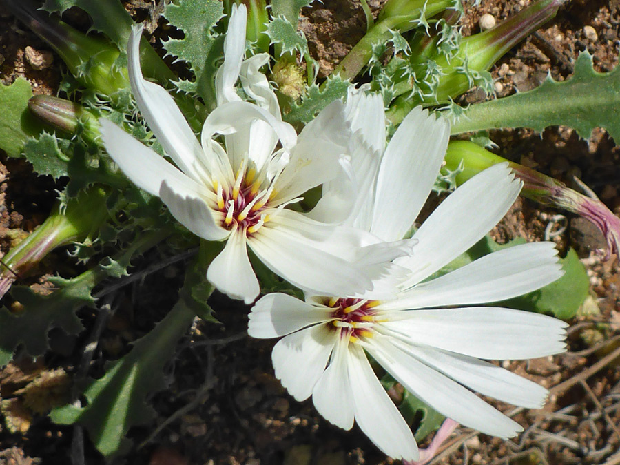 Two white flowerheads