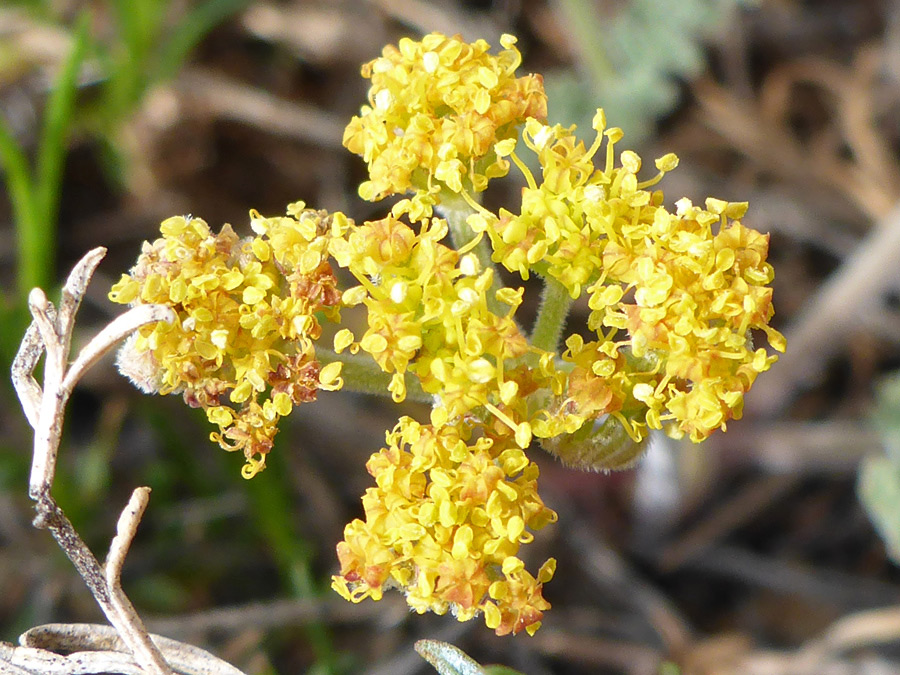 Yellow inflorescence