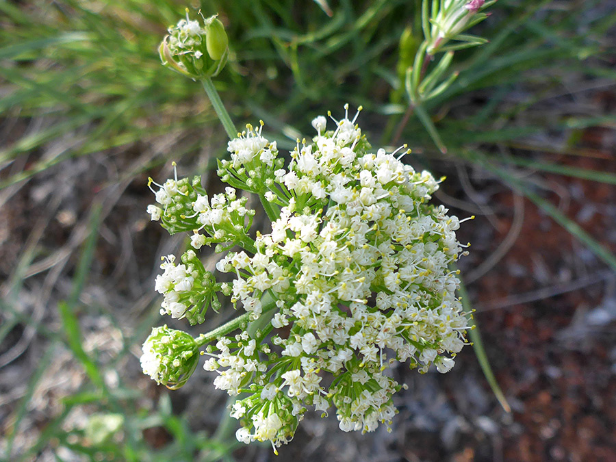 Spherical inflorescence - pictures of Lomatium Nevadense ...