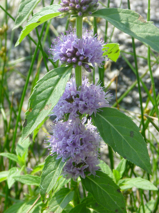 Field Mint Pale Purple Flowers