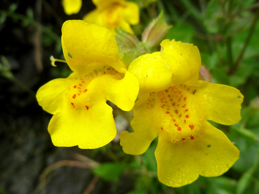 Pair Of Yellow Flowers Pictures Of Mimulus Guttatus