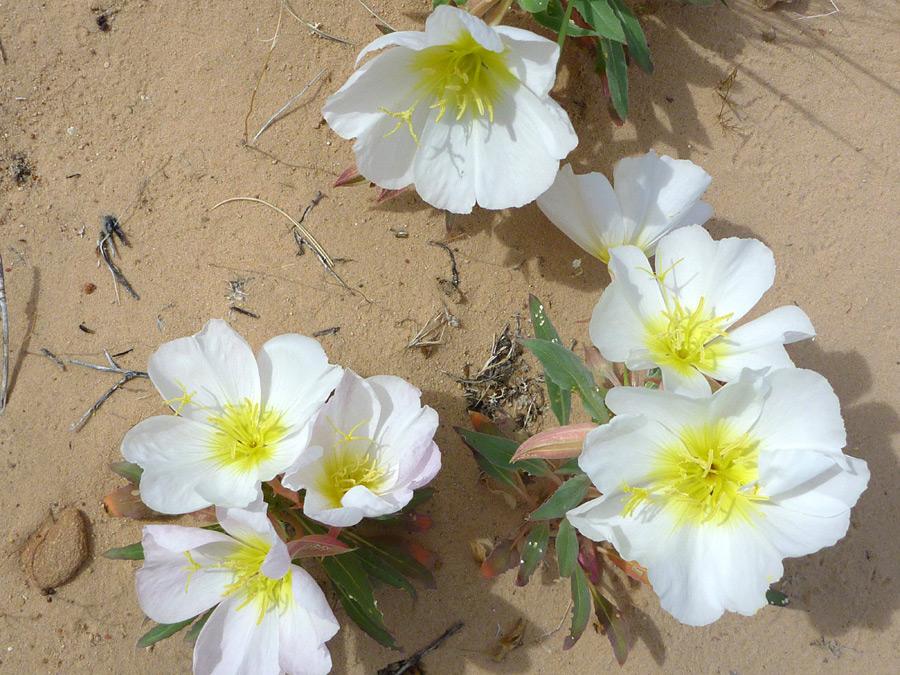 30 Mojave Desert Wildflowers Oenothera Californica