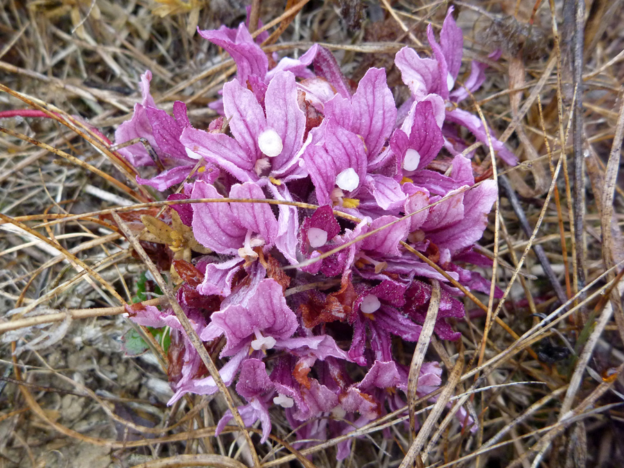 Pink purple flowers pictures of orobanche californica for Purple flower shrub california