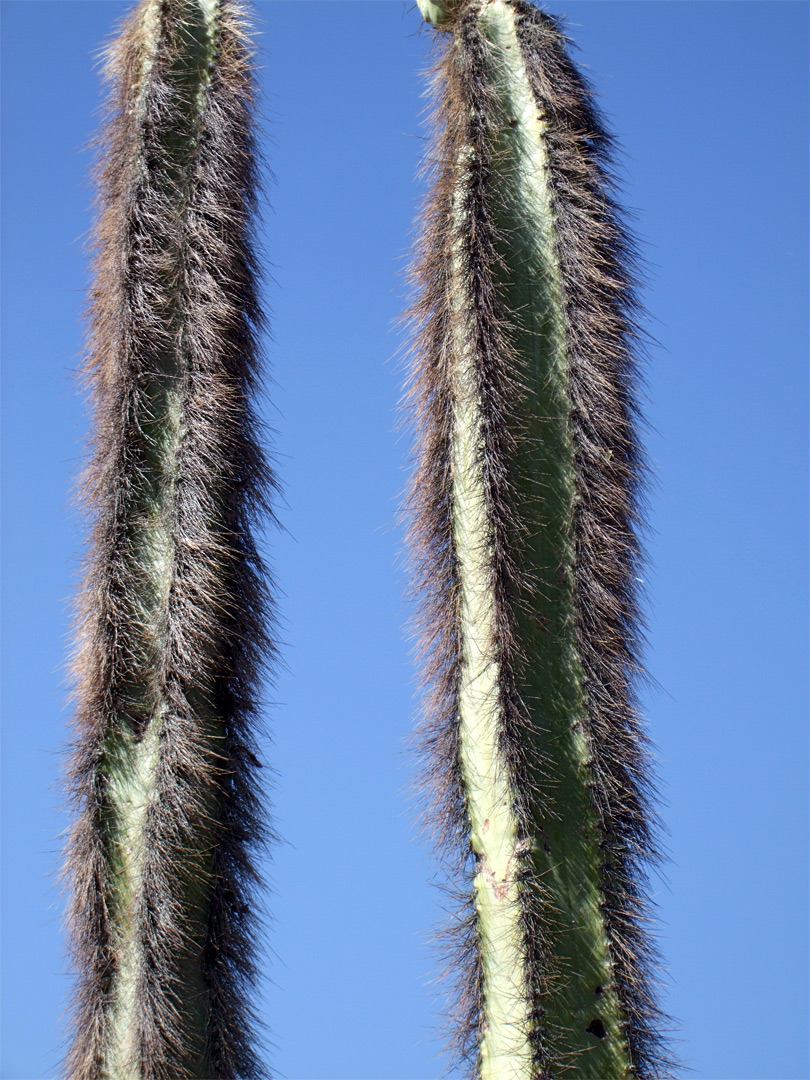 Hairy stems