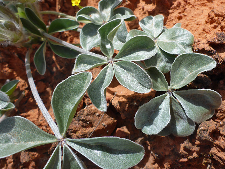 Grey-green palmate leaves
