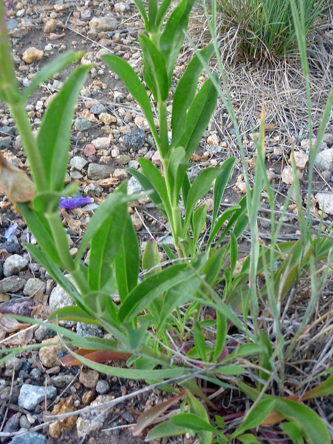 Leaves - pictures of Penstemon Strictus, Plantaginaceae ...