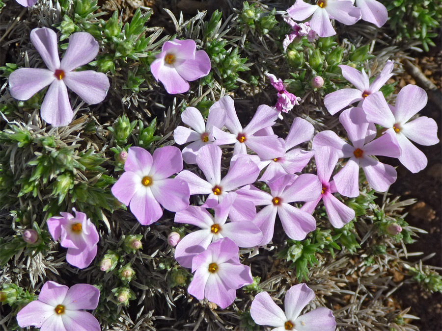 Five-petaled pink flowers