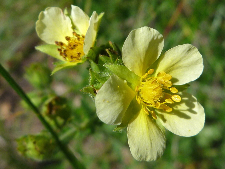 Pale yellow flowers pictures of potentilla glandulosa rosaceae pale yellow flowers mightylinksfo