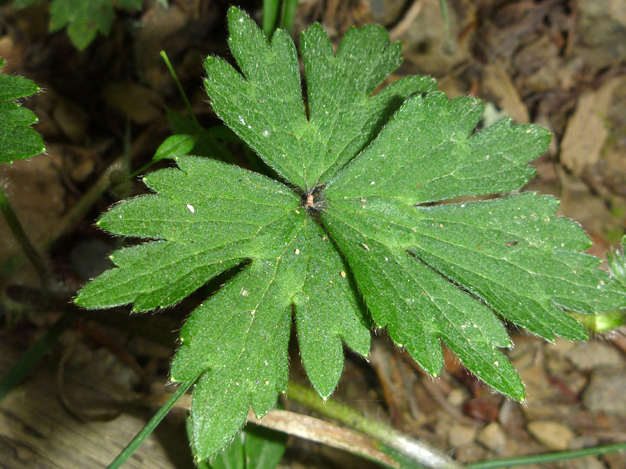 Divided, lobed leaf