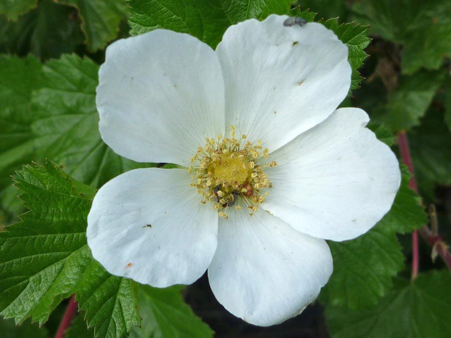 Round white petals pictures of rubus deliciosus rosaceae round white petals mightylinksfo