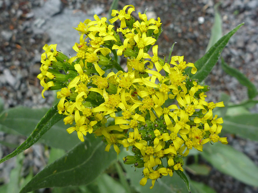 Small yellow flowers pictures of senecio atratus asteraceae small yellow flowers mightylinksfo