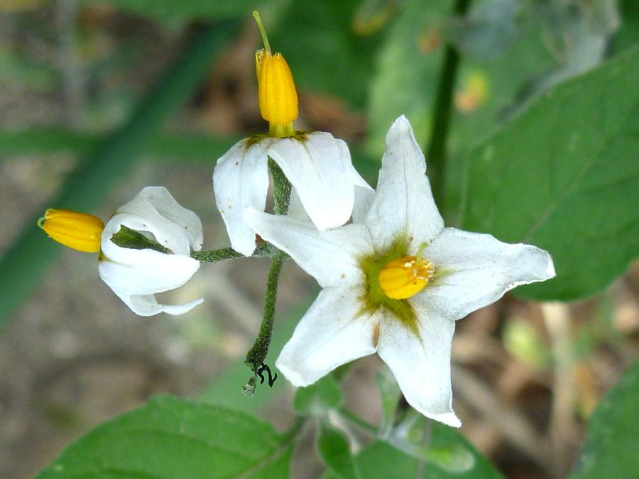 Three Flowers Pictures Of Solanum Douglasii Solanaceae