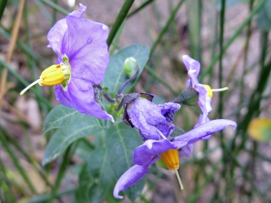 Two flowers pictures of solanum parishii solanaceae for Purple flower shrub california