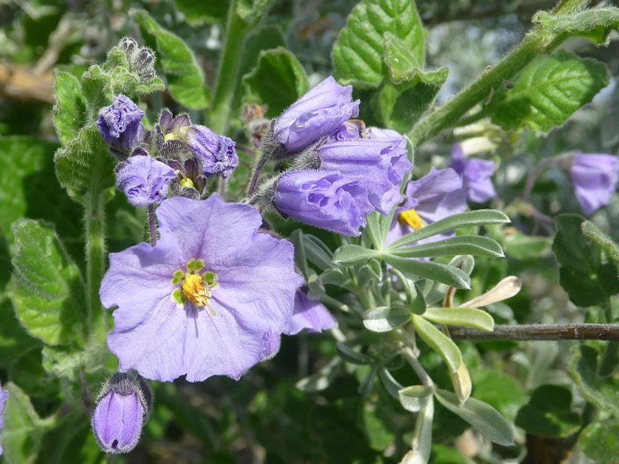 Purple flowers pictures of solanum xanti solanaceae for Purple flower shrub california